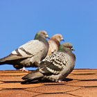 Home remedies: How to get rid of pigeons