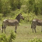 Advantages and disadvantages of zoo animals living in natural habitats
