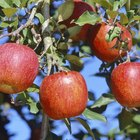 How to grow pink lady apple trees from seeds