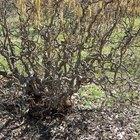How to prune corkscrew hazel