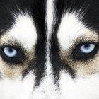 10 coisas para saber antes de adotar um Husky Siberiano