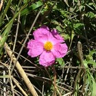 How to cut back rock roses