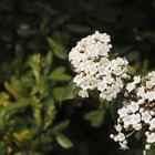 When to prune Viburnum tinus