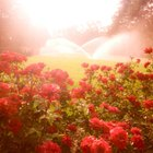 Top ten disease resistant roses