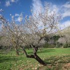 When to prune almond trees