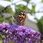 How to care for buddleia plants