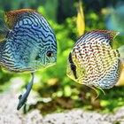 Como saber quando seu peixe de aquário está próximo de ter filhotes