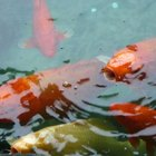 ¿Cómo los peces obtienen oxígeno del agua?