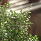 How to grow tulsi