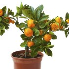 How to revive a dying citrus tree