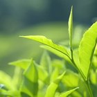 How to grow tea tree plants