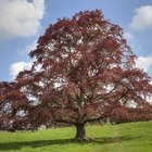 How to care for a copper beech tree