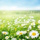 How does a daisy reproduce?