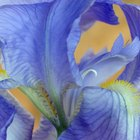 How to take care of irises when the flower dies