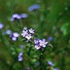 Cómo cultivar no me olvides (Myosotis Sylvatica)