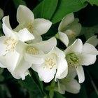 Cómo fertilizar las plantas de jazmín