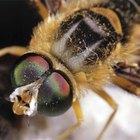 Cómo identificar a una abeja asesina