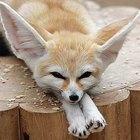Cómo tener legalmente como mascota un zorro fenec