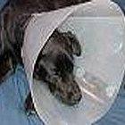 Como usar um colar elizabetano ou colar pós-cirurgico (cúpula de abajur) em animais de estimação