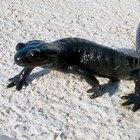 Cómo diferenciar una salamandra de un lagarto