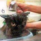 Cómo hacer champú antipulgas para gatos