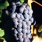 Cómo hacer jugo de uvas con uvas frescas