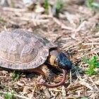 Cómo tener una tortuga como mascota