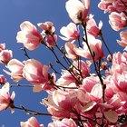 Cómo cultivar árboles de magnolias