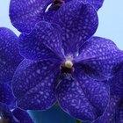 Cómo cultivar orquídeas azules
