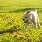 Cómo entrenar cachorros de golden retriever