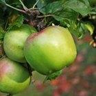 Cómo cultivar manzanos enanos