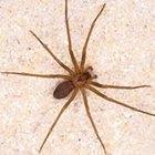 Cómo deshacerse de las arañas reclusas marrones