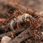 Como se livrar de formigas-correição