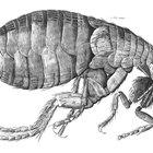 Cómo deshacerse de las pulgas y los ácaros en la casa