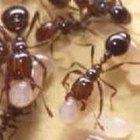 Cómo deshacerse de las hormigas en los árboles