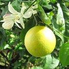 Cómo identificar diferentes tipos de limón