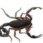 Como repelir escorpiões