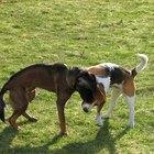 Cómo tratar la urticaria en los perros