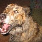 Como saber se um cão foi maltratado