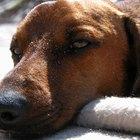 Cómo tratar una afección en los sacos anales caninos