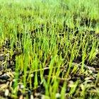 Cómo cultivar césped en tierra dura.