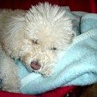 Cómo cuidar cachorros de raza caniche
