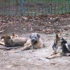 Cómo tratar los parches de calva en los perros