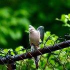 Como atrair pombas até a sua casa