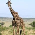 Como as girafas respiram?
