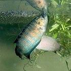 ¿Cómo se aparean los peces de acuario?