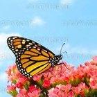 Por que borboletas voam?