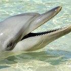 Como os golfinhos ouvem