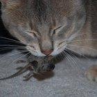 ¿Por qué los gatos cazan ratones?
