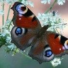 O que a borboleta faz pela natureza